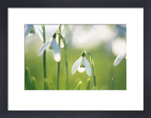 Galanthus nivalis, Snowdrop by Rob Matheson