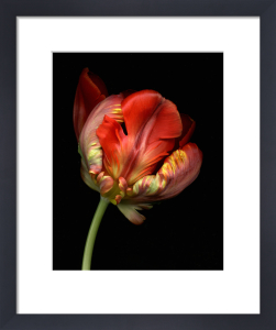 Tulipa 'Bird of Paradise', Tulip - Parrot tulip by Steve Shipman