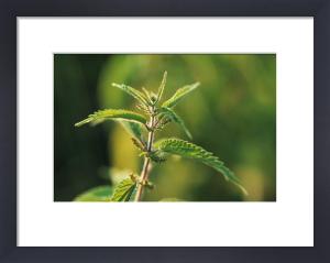 Urtica dioica, Nettle by Steve Shipman