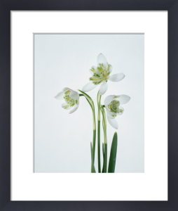 Galanthus nivalis, Snowdrop - Double snowdrop by Tim Smith