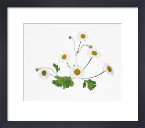 Tanacetum parthenium, Feverfew by Tim Smith