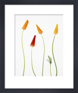 Eschscholzia californica, Poppy - Californian poppy by Tim Smith