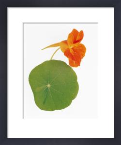 Tropaeolum majus, Nasturtium by Tim Smith
