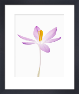 Crocus, Crocus by Tim Smith