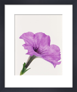 Petunia, Petunia by Tim Smith