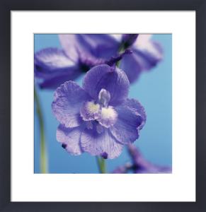 Delphinium 'Blue Bees', Delphinium by Victoria Gomez