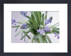 Muscari, Grape hyacinth by Victoria Gomez