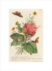 1.Ceratocephalus, 2. Martynia, 3. Narcissus by George Dionysus Ehret