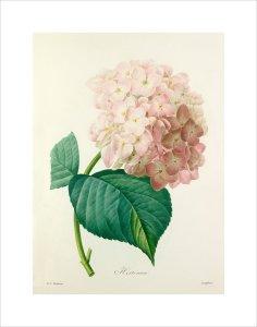 Hortensia by Pierre Joseph Celestin Redouté