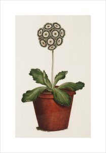 Bertle's Royal Sportsman, an Auricula by James Sowerby