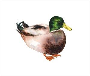 Mallard Duck by Alison Fennell