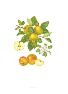 Plate 52 Malus domestica Ribston Pippin by Elisabeth Dowle